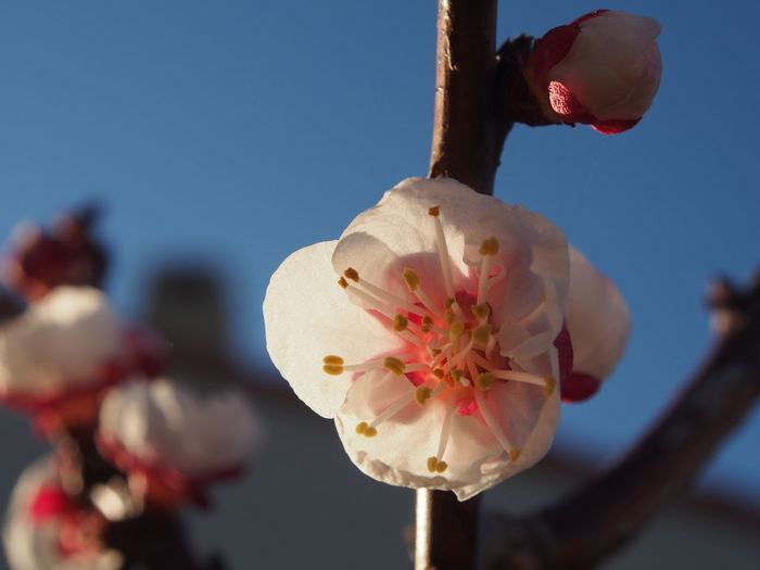 Close-up of pink cherry blossom against sky