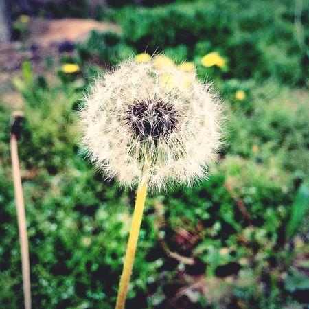 蒲公英 dandelion Dandelion Nature Nature_collection Nature Photography Tiny Planet Lovely Taking Photos