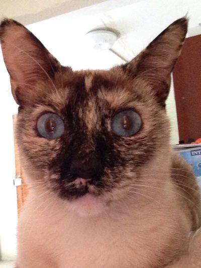 Greta❤️ Miau Gatita  Amor Catlovers Greta Miau Love Ojitos Azules Ojitos