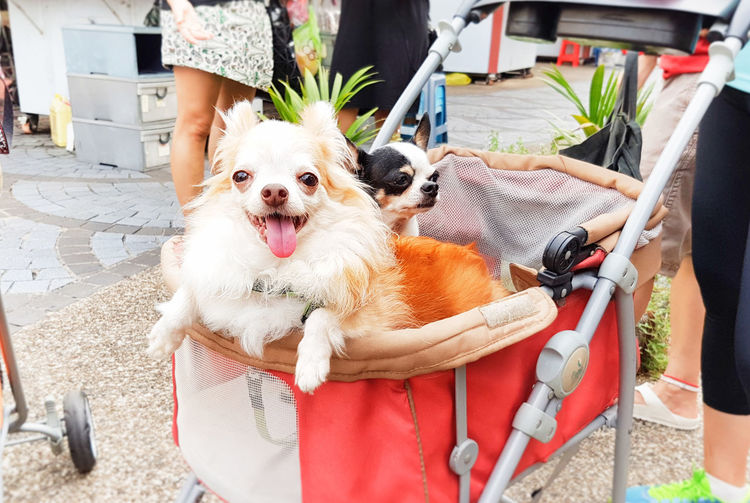Tongue out! Carrier Chihuahua Close-up Cute Pets Day Dog Domestic Animals Fluffy For Sale Incidental People Inu Live For The Story Mammal Mouth Open One Animal Outdoors People Pets Pomeranian Pram Retail  Standing Summer The Street Photographer - 2017 EyeEm Awards Tongue Out