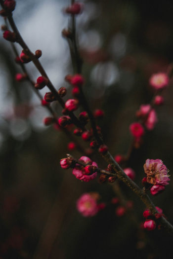 Extreme close-up of pink plum blossoms outdoors