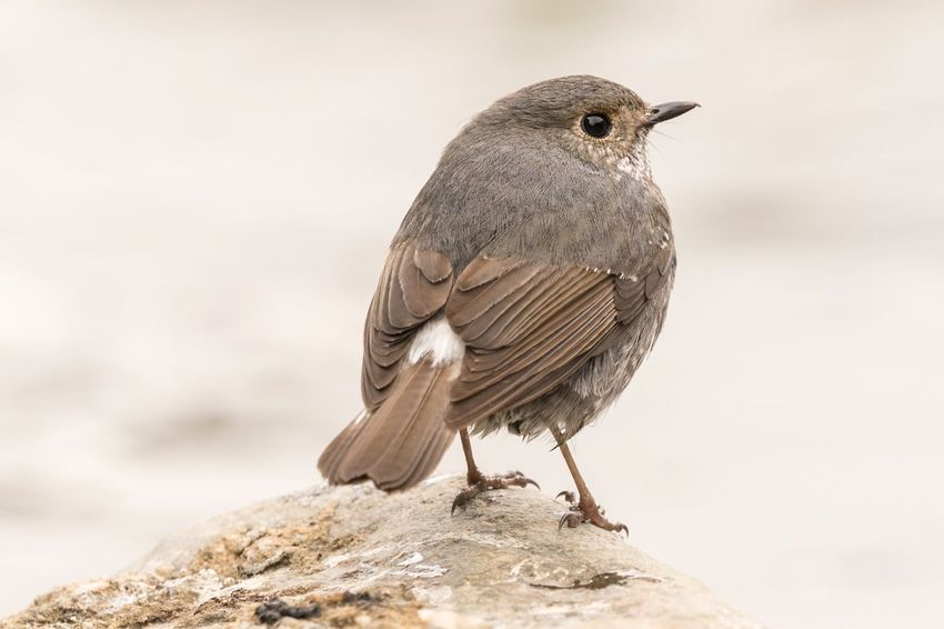 Sigma 150-600c Sony A7RII Hong Kong Plumbeous Water Redstart Bird Perching One Animal Animals In The Wild Animal Wildlife Animal Themes No People Close-up Day Focus On Foreground Outdoors Nature Mourning Dove