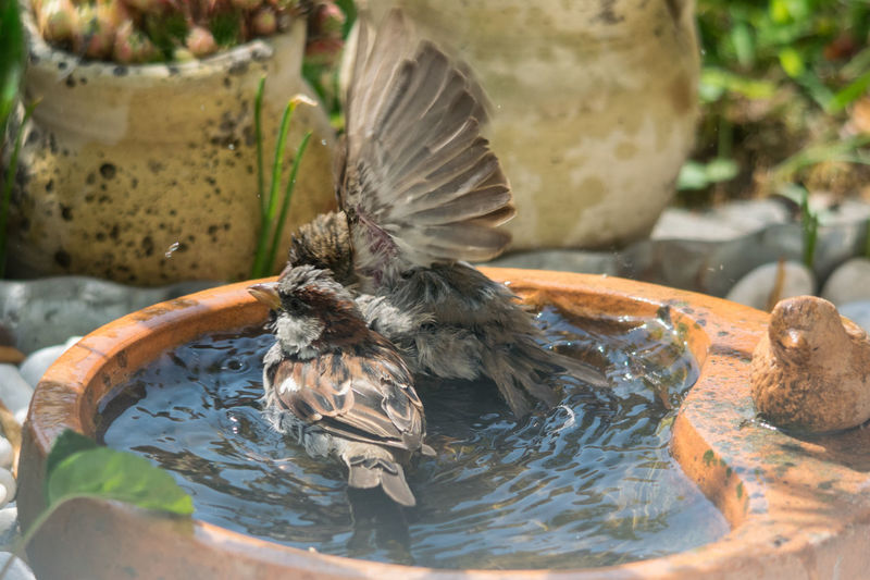 Treffpunkt Vogeltränke - kühlendes Bad Heißer Tag Sperlinge Eng Erfrischung Abkühlung Wenig Plstz Ein Genuß Vollbad Flapping Wings Sparrows Taking A Bath A Pleasure Narrow Little Space Water Insect Close-up Animal Themes