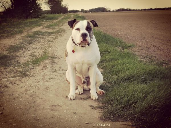 Ambull America Bulldog Dog Pets Sitting Nature Portrait Day Nature_collection EyeEm Team Industrial Landscapes Art Is Everywhere Pet Portraits