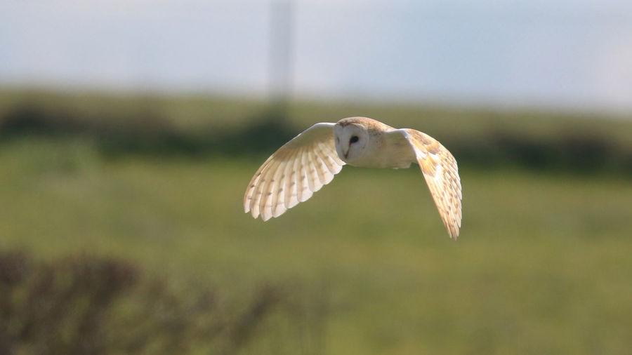 Aves Bird Photography Birds Of EyeEm  Animal Wildlife Barn Owl Beauty In Nature Bird Bird Of Prey Flying Mid-air Nature Owls Oxfordshire Spread Wings