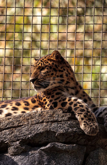 Amur leopard called Panthera pardus orientalis is found in a small part of the Russian Far East and China in the mountain forests and valleys. Amur Leopard Amur Animal Animal Themes Animals In The Wild Big Cat Cat Day Feline Leopard Mammal No People One Animal Panther Panthera Pardus Panthera Pardus Orientalis Spots