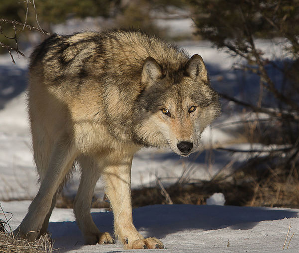 Curios Wolf Animal Animal Themes Close Up Close-up Curiosity Mammal No People One Animal Side View Wolf Zoology