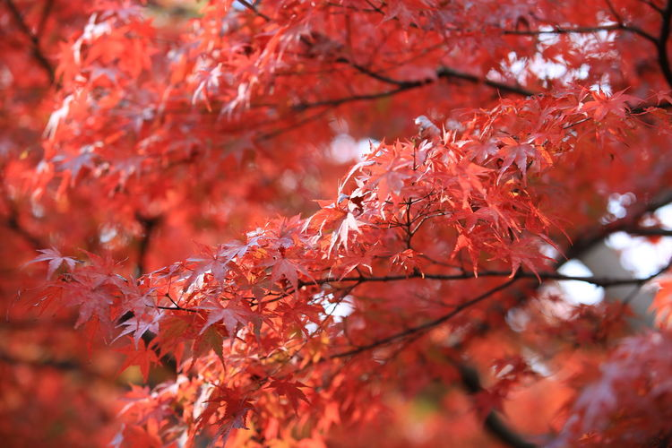 Red Color Red Leaves Autumn colors Autumn Leaves Autumn Beauty In Nature No People Natural Condition Change Leaf Nature Kyoto Japan Photography Falling