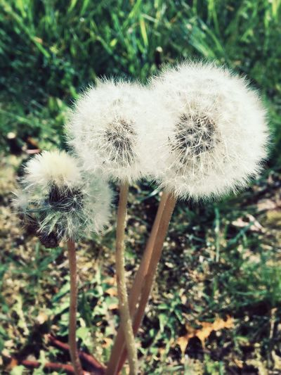 Dandelion Growth Nature Plant Close-up Beauty In Nature Day Flower Outdoors No People Freshness Flower Head Daytime Photography Daylight Springtime Grass Hello World Enjoyinglife