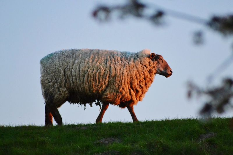 Evening walk .. Field Grass Animal Themes Nature Mammal One Animal Animals In The Wild Beauty In Nature Sky Evening Sky Evening Light Sheep Dike EyeEm Nature Lover