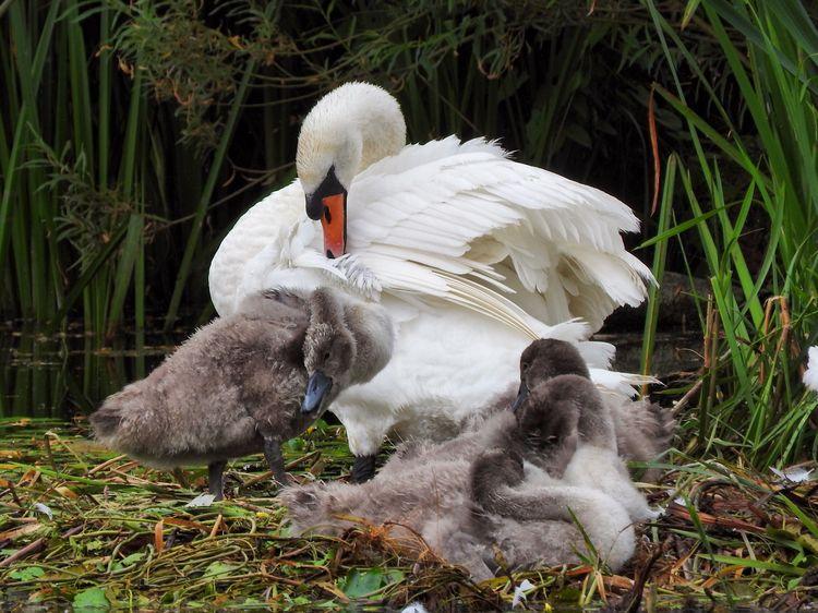 Cygnets. Swans Cygnets Uk Swan Bird Photography