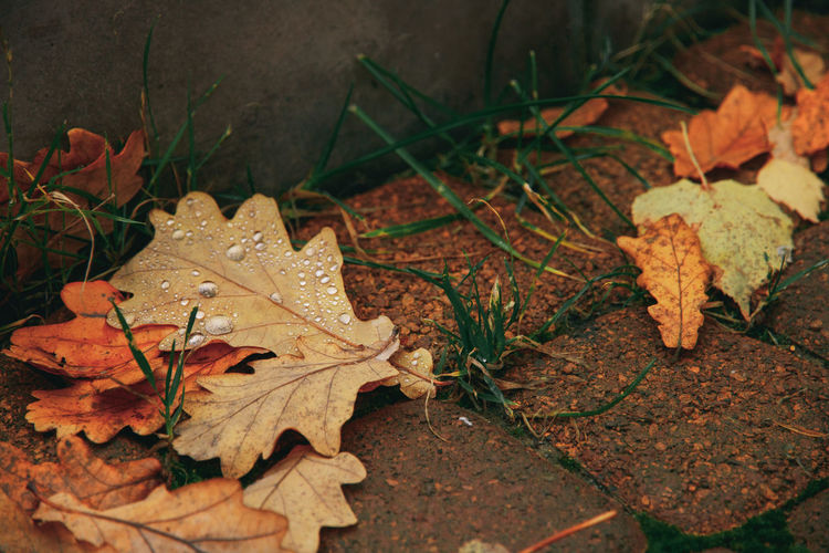 Autumn Beauty In Nature Change Close-up Day Dry Fragility Leaf Leaves Maple Maple Leaf Nature No People Outdoors Water