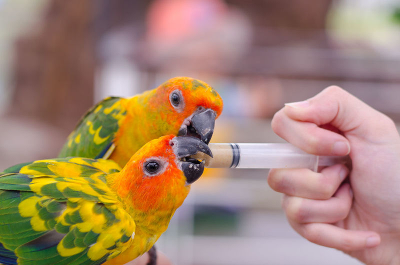 Close-up of hand feeding parrots