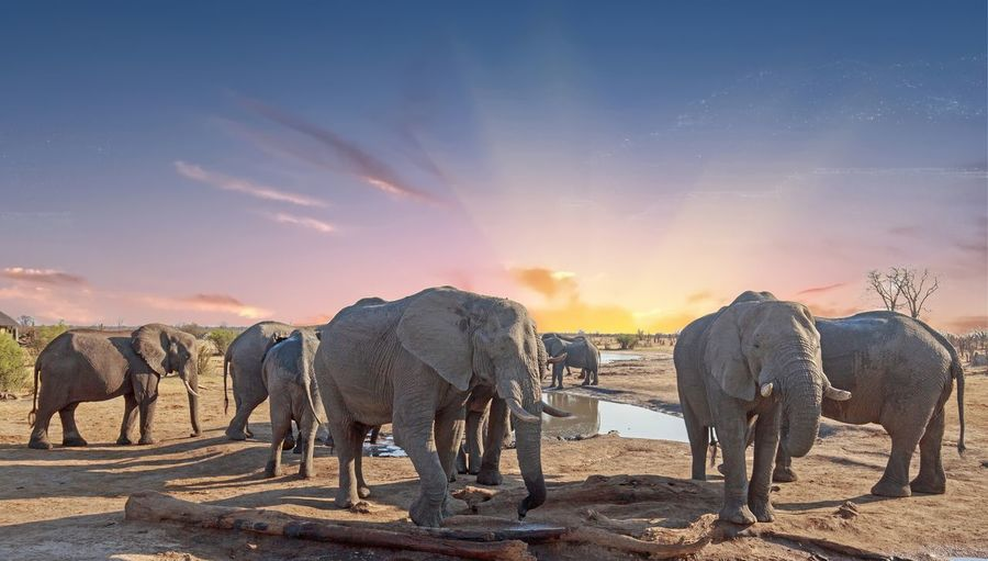 Mammal Animal Animal Themes Group Of Animals Elephant Sky Animals In The Wild Animal Wildlife No People Safari Walking African Elephant Animal Family Standing Land Sunset Hwange National Park Animals In The Wild Beauty In Nature