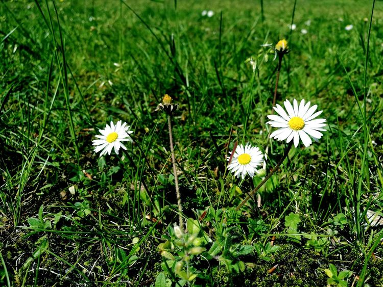 little Daisy Flower Plant Nature
