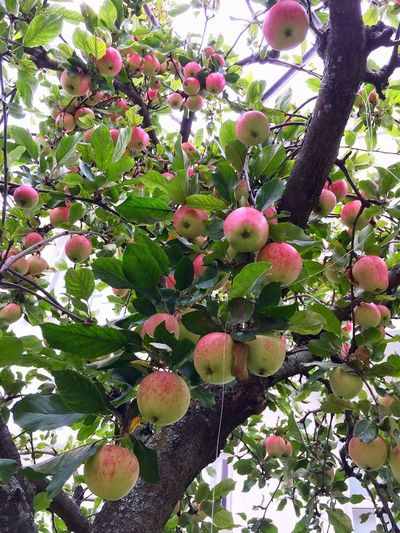 Branch Growth Fruit Freshness Tree Leaf Food And Drink Low Angle View Close-up Fruit Tree Orchard Food Apple Tree Healthy Eating Nature Flower Day Beauty In Nature Green Color Outdoors Abundance Downtown Sunbathing Season  Beautifully Organized