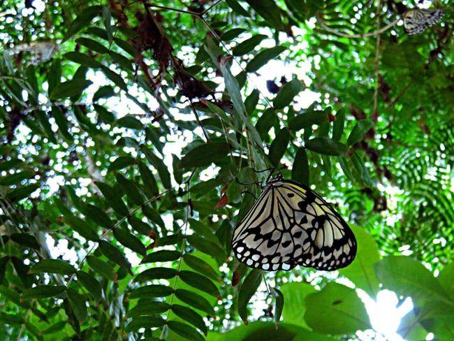 Butterfly Butterflies Butterfly ❤ Butterfly Collection Butterfly Garden 蝶 蝶々 オオゴマダラ