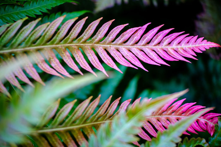 Close-up of pink and green fern leaf