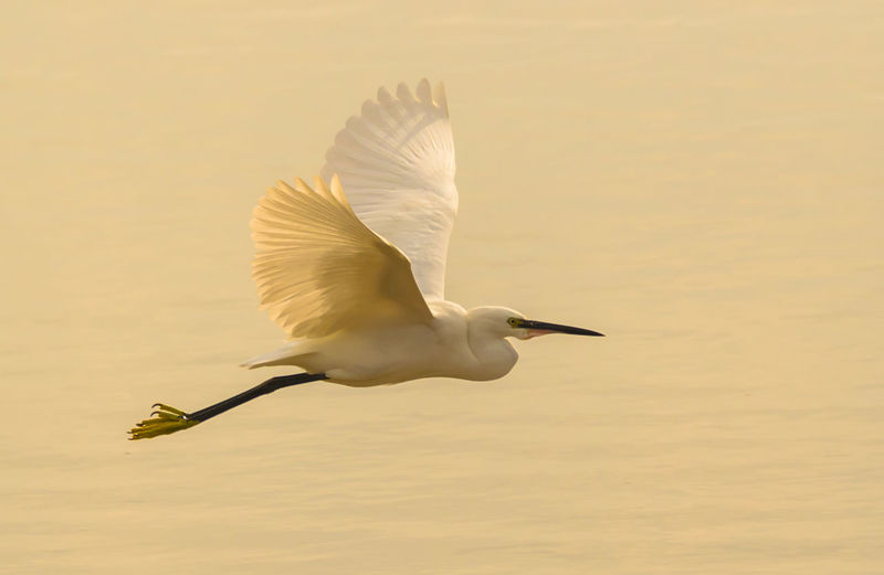 Egret Flying Over Lake