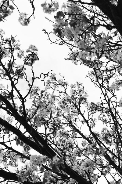Low Angle View Branch Tree Beauty In Nature Nature Scenics Tranquility Tree Trunk Sky Day Tranquil Scene Growth Outdoors Majestic Non-urban Scene Tall Blackandwhite Photography Blackandwhite Photography Fun Still Life