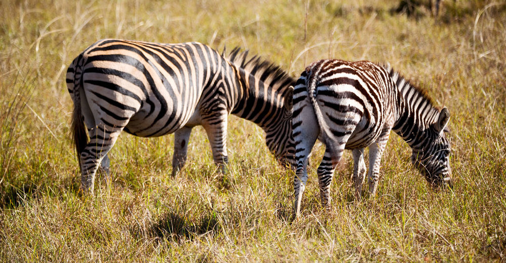 Zebra zebras in a field