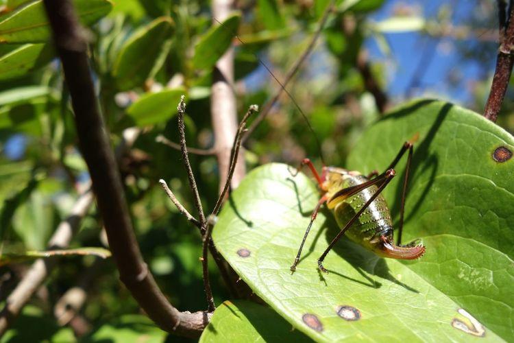Saint Tropez Provence Coastline L'Escalet Fauna Crickets Ephippiger