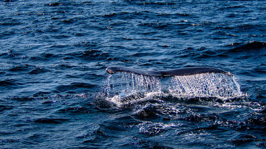 The humpback whale (Megaptera novaeangliae) tail and ocean Megaptera Novaeangliae Animals Beauty In Nature Canada Nature Newfoundland Outdoors Unique Unique Moments Whales One Animal Animals In The Wild Animal Wildlife Animal Themes No People Sea Water Whale Sea Life Waterfront Swimming Humpback Whale Mammal