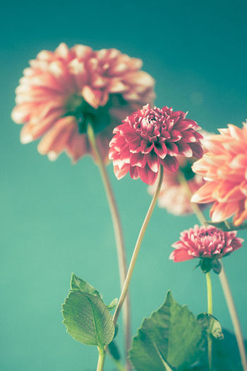Dahlias On a White Background Flowering Plant Flower Fragility Vulnerability  Freshness Plant Beauty In Nature Petal Close-up Growth Flower Head Plant Stem No People Focus On Foreground Botany Plant Part Pink Color Dahlia Flowers Dahlia Green Orange Nature Leaf