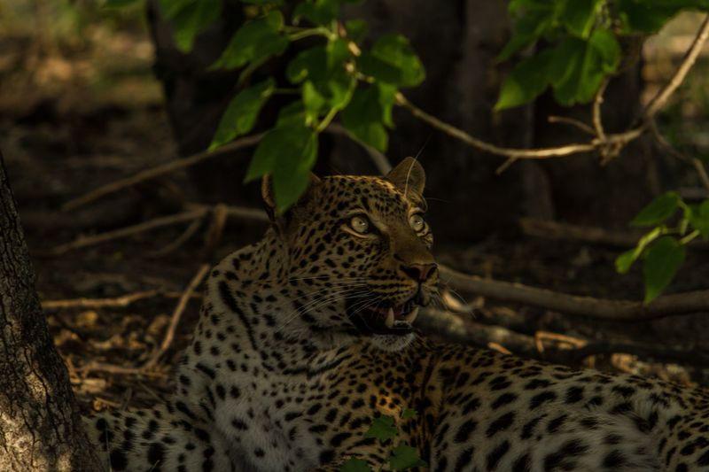 Leopards sitting on field