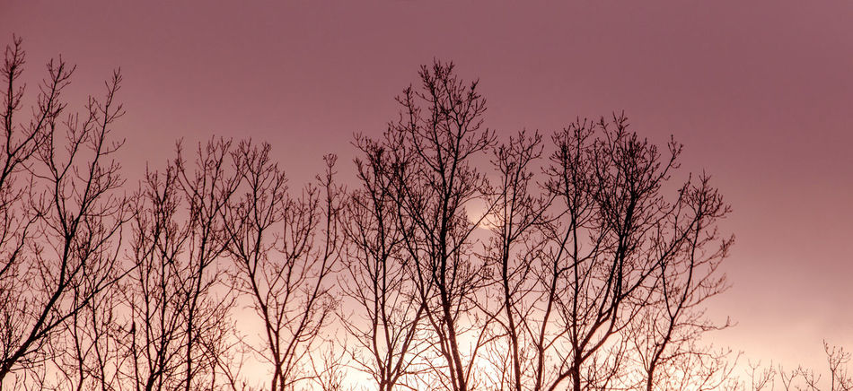 bare trees against a pink morning sunrise Tree Sky Bare Tree Plant Beauty In Nature Nature No People Tranquility Branch Silhouette Outdoors Low Angle View Dusk Tranquil Scene Scenics - Nature Growth Cloud - Sky Idyllic Sunrise Morning Early Morning Pink Sky Panorama