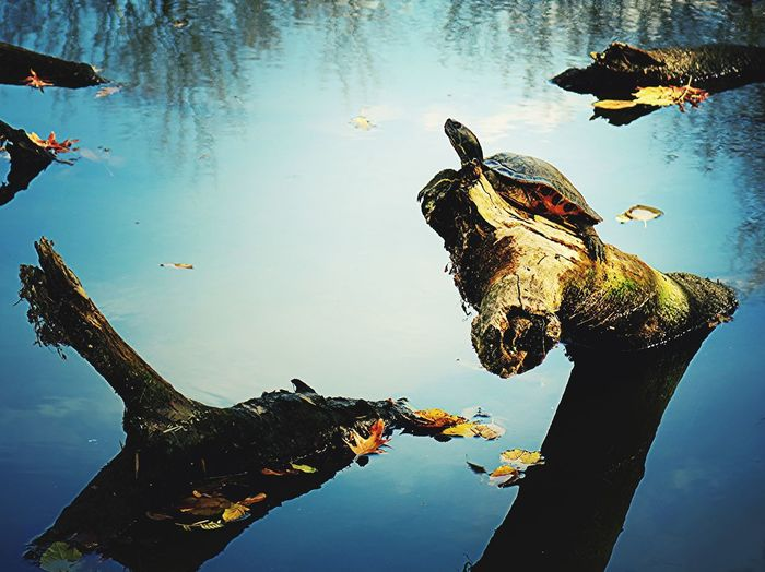 Water Reptile Nature No People Lake Day One Animal Animal Wildlife Animals In The Wild Animal Themes Outdoors Turtle Redbelly Redbelly Turtle Turtles In The Sun Log Sunbathing