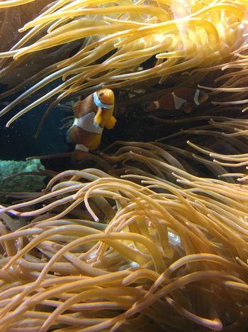 Underwater Yellow Close-up Swimming Nature Beauty In Nature Freshness Fish Clownfish Clown Fish Aquarium Marine TakeoverContrast Sea UnderSea Full Frame Underwater World Underwater Photography Maximum Closeness