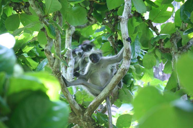 Monkeys Zanzibar Colobus Colobus Zanzibar Monkey Hanging Animal Themes Animal Animal Wildlife Leaf Plant Part Plant Tree Animals In The Wild Green Color Relaxation No People Growth Branch Low Angle View
