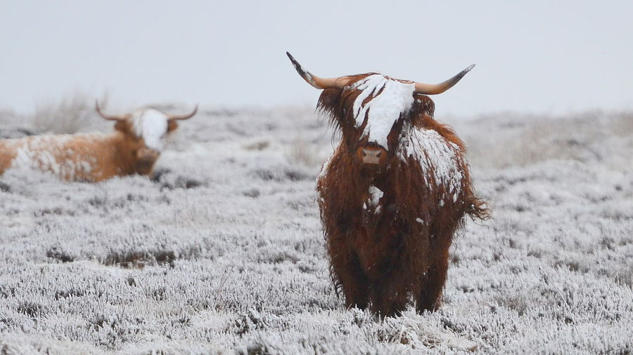 Derbyshire Animal Animal Hair Animal Themes Animal Wildlife Brown Cow Domestic Animals Field Herbivorous Highland Cattle Horned Land Livestock Mammal Nature No People Peak District  Snow Vertebrate Winter