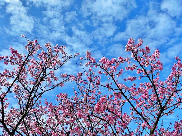 Low angle view of cherry blossoms against sky