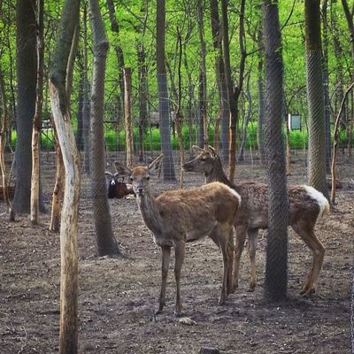 Animals Beauty In Nature Day Deer Deers Forest Green Color Landscape Nature No People Non Urban Scene Non-urban Scene Outdoors Plant Szeged Tranquility Tree Tree Trunk WoodLand Zoo Zoo Animals  Zoology