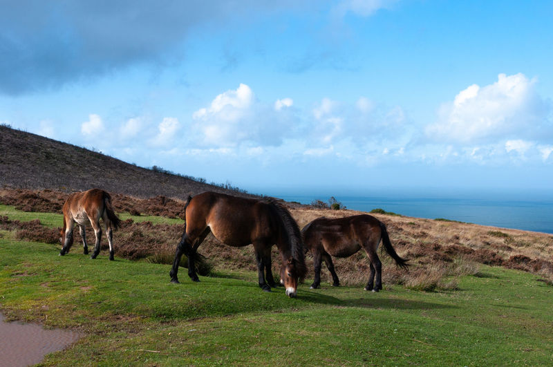 Horses on field by sea against sky