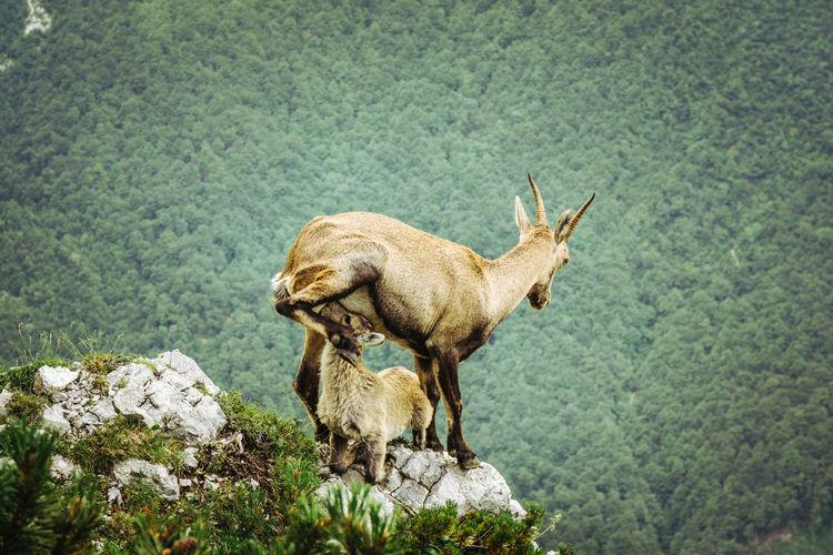 Mountain goats on rock