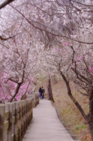 EyeEmNewHere Springcolors Plumbrossom Spring Springtime Japan 筑波山梅林 Tree Flower Walkway Blossom Pink Color Springtime Flower Tree Pink Narrow The Way Forward