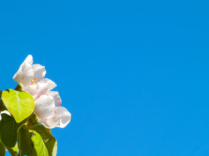 Agriculture Beauty In Nature Blooming Blue Clear Sky Close-up Cydonia Cydonia Oblonga Floral Flower Flower Head Fragility Freshness Growth Low Angle View Nature No People Outdoors Petal Quince Sky Space For Text Spring Springtime Minimalism