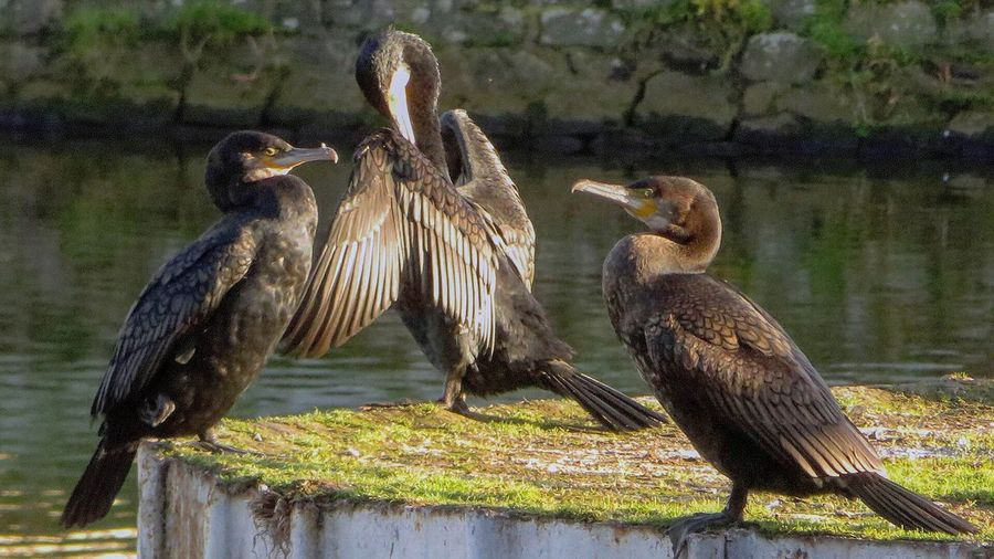 Meeting of cormorants in the port of Saint-Brieuc Winter Water Sea Port Harbour Cormorant  Beauty In Nature Photo Photos Around You France Brittany Photo Of Nature Animal Photography Côtes D'Armor Nature Landscape #Nature #photography Littoral Black Black Bird Animal Animal Themes Animals