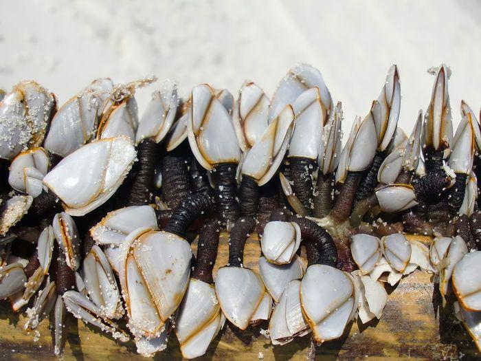 Gooseneck barnacles on wood