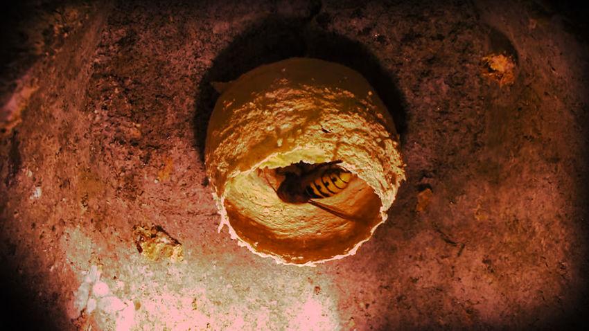 Wasp Wasp Nest Wasp Close Up Animal Fauna Wasps Close-up