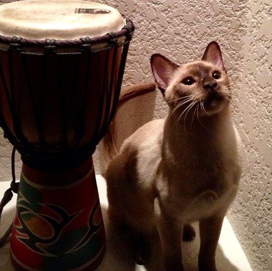 Doumbek Tonkinese Cat Serene Presence Drummer