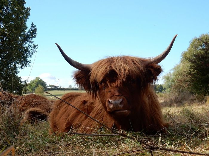 TakeoverContrast Animal Themes Domestic Animals One Animal Animal Head  Mammal Clear Sky Livestock Field Horned Brown Domestic Cattle Highland Cattle Blue Front View Cattle Day Outdoors Zoology Horizon Over Land Farm Animal Bestoftheday Today's Hot Look Modern Art Gallery