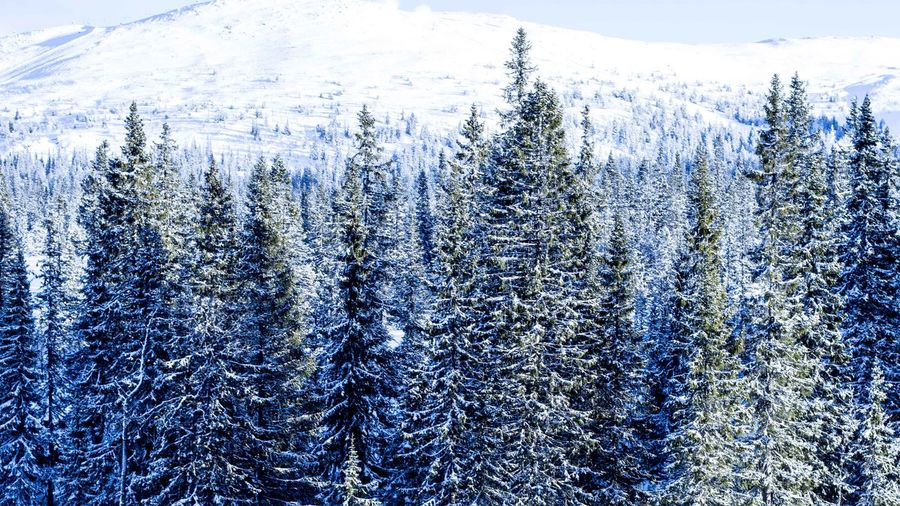 Marcweberde Plant Cold Temperature Winter Snow Tree Beauty In Nature Forest Land Nature No People Day Growth Tranquil Scene Non-urban Scene Tranquility Coniferous Tree Scenics - Nature Environment Pine Tree WoodLand Pine Woodland Outdoors Snowcapped Mountain