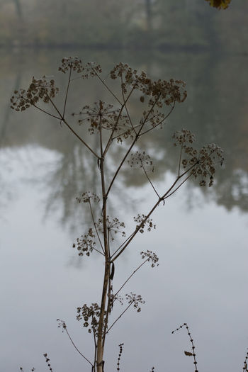 Dried Flower Head Beauty In Nature Close-up Day Fragility Growth Low Angle View Nature No People Outdoors Plant River Seed Head Sky Stem Tranquility Water
