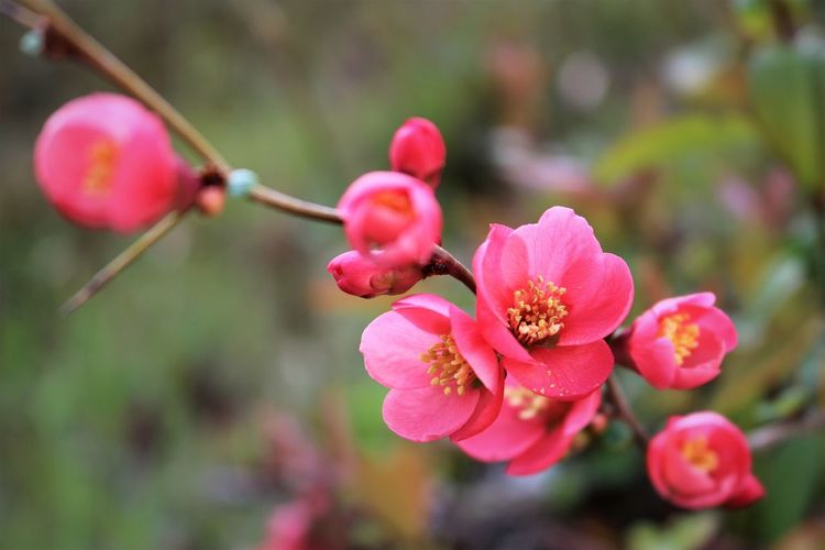 Plum Blossoms Flower Pink Color Flowering Plant Plant Growth Beauty In Nature Freshness Fragility Close-up Vulnerability  Focus On Foreground Petal No People Nature Day Flower Head Inflorescence Branch Bud Outdoors Springtime Selective Focus Stamen Pollen Plum Blossom