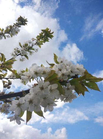 Spring Blossom Sakura Cherry Blossoms Sky And Clouds Tree