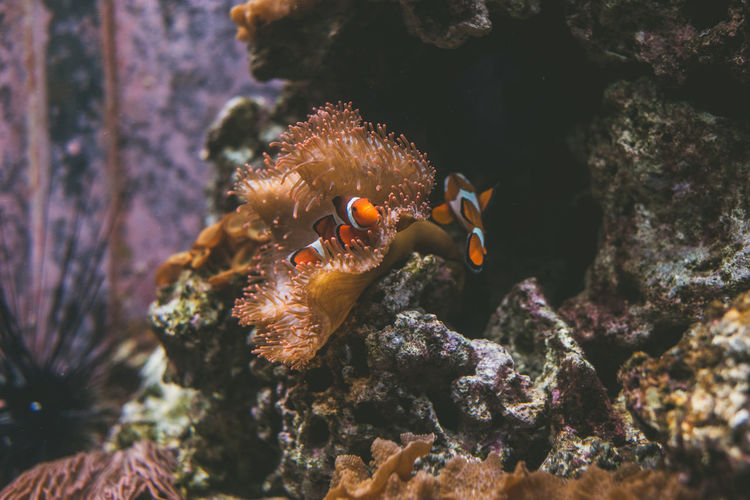 High angle view of clown fishes swimming in sea